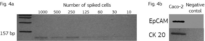 Sensitivity of PCR method for the detection of K-ras protoncogene in known number of spiking Caco-2 cells